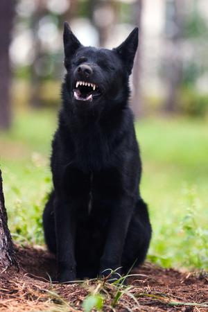 bared: Very fierce black dog bared his teeth.