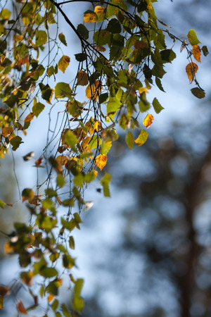 yellowing: Beautiful yellowing leaves of birch on a branch against the blue sky in the autumn.