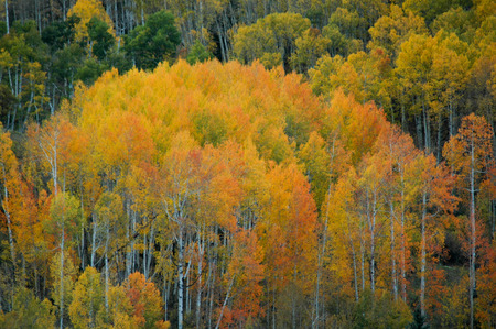 aspen grove: Orange and Yellow Aspen Grove Clump with White Trunks Stock Photo