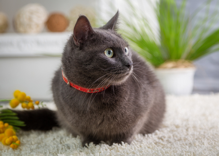Gray cat in a red collar sitting on a carpet in the studio