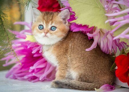 Little fLittle fold kitten sits in flowers on the nature.