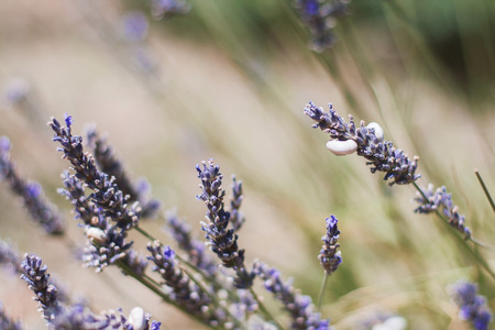 lavender: Lavander in field of Provence, France. Soft focus
