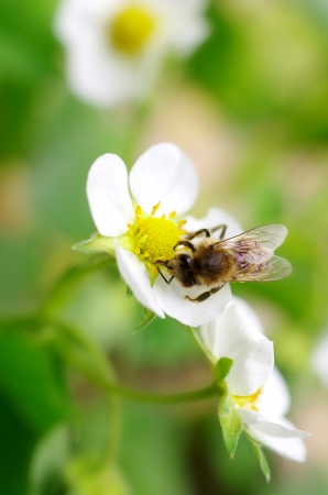 bees collect nectar from flowers of wild strawberry