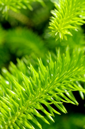 abstract macro background with green branches spruce