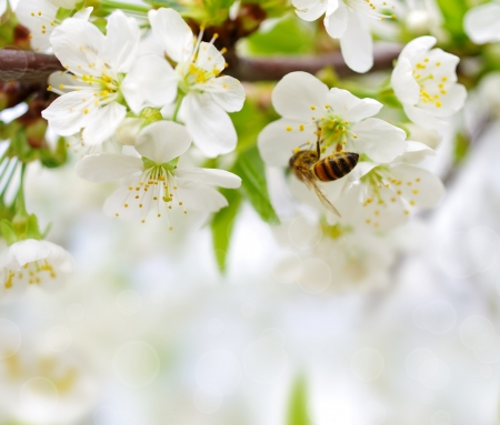 Spring background with cherry blossom and bees collect nectar Stock Photo