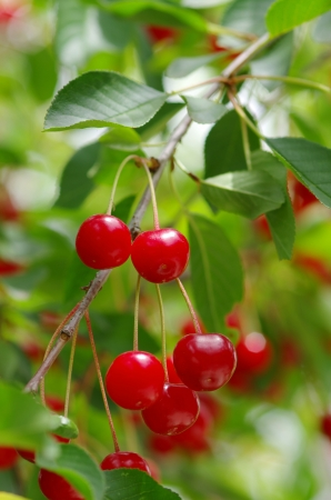 ripe, red cherries hanging on the tree
