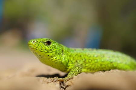 green lizard close-up