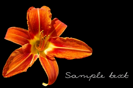 isolated Orange lily on black background Stock Photo