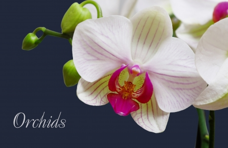 orchid isolated on a dark blue background