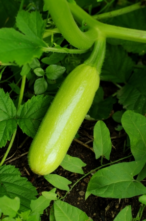 Fresh young vegetable marrow