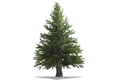 A pine tree isolated with white background Stock Photo - 16553186