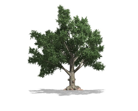 An isolated tree with shadow and white background Stock Photo - 16553197