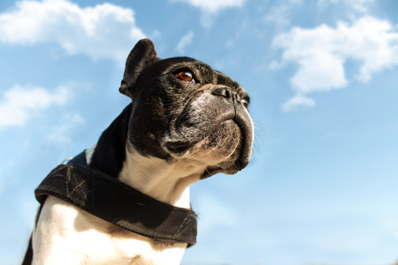 French bulldog viewed from below looking intently