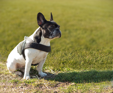 French bulldog looking intently in a field Stock Photo