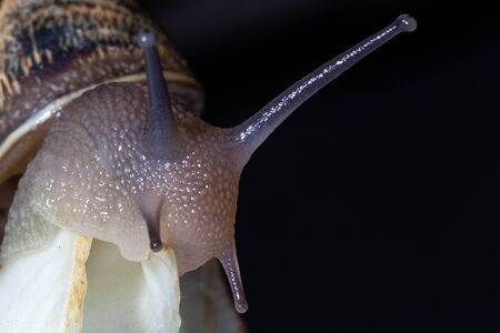 Snail eats fennel with black background