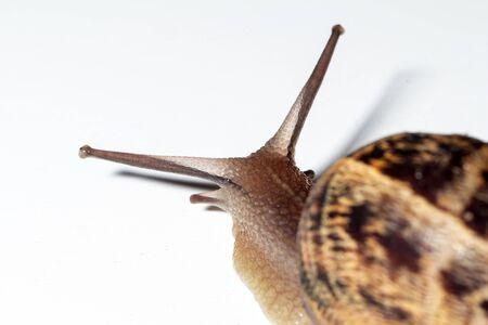 Snail walks slowly with white background Standard-Bild