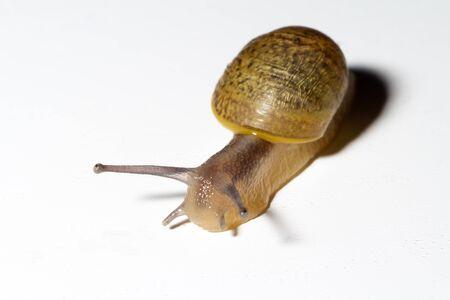 Cantareus apertus snail with white background