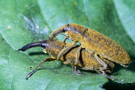 Lixus pulverulentus male and female mate over a leaf