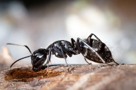 Camponotus vagus drink water and sugar in a old tree