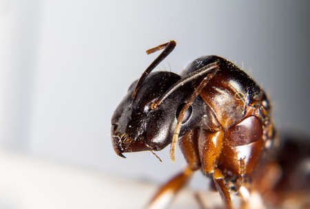 Camponotus aethiops queen with super magnification