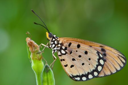 tawny: Tawny Coster Butterfly