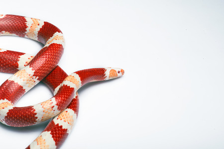 ancient turtles: Corn snake with red and white stripes   isolated on white background with copy place Stock Photo