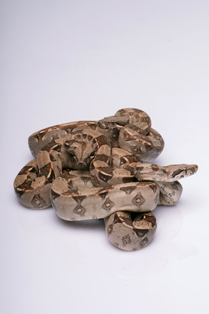 Boa constrictors is isolated on white background