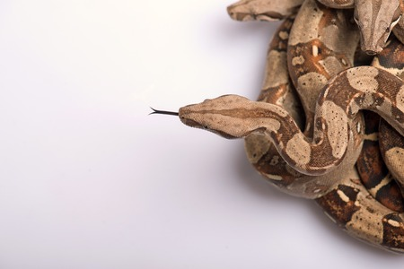 Boa constrictors isolated on white background  with copy place