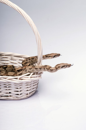 Boa constrictors isolated on white background  in wicker basket