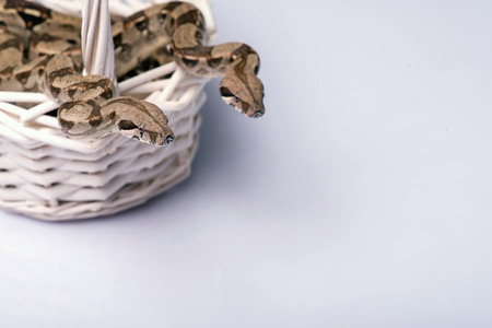 constrictors: Boa constrictors isolated on white background  with copy place in wicker basket