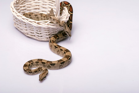 Boa constrictors isolated on white background  with copy place in wicker basket