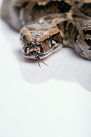 ancient turtles: Boa constrictor isolated on white background  with copy place  close up