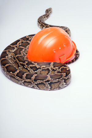 ancient turtles: Boa constrictor with orange hard hat  isolated on white background