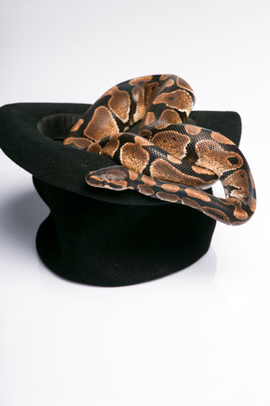 black boa: Boa constrictor in black top hat  isolated on white background  with copy place Stock Photo