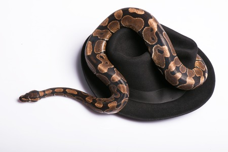 ancient turtles: Boa constrictor on   black hat  isolated on white background Stock Photo