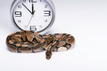 ancient turtles: brown snake near   clock  isolated on white background