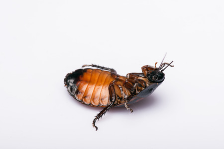 madagascar hissing cockroach: reverse Madagascar hissing cockroach  isolated on white background Stock Photo