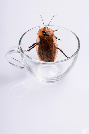 madagascar hissing cockroach: Madagascar hissing cockroach  in  transparent glass cup    isolated on white background  top view