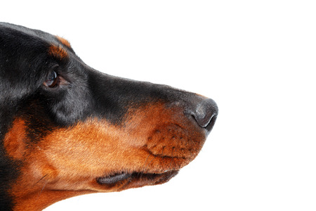 intent: Intent glance. Close up of muzzle of dog in profile that on isolated white background