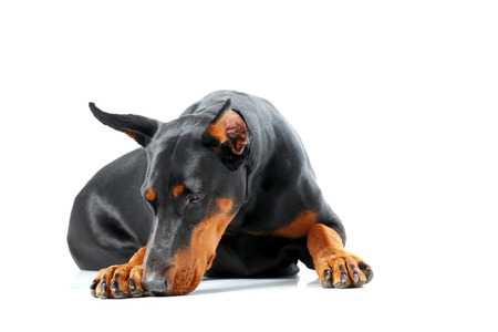 pinscher: No one to play. Lying doberman pinscher on isolated white background looking sad Stock Photo