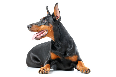 doberman pinscher: What is there. Doberman pinscher lying on isolated white background Stock Photo