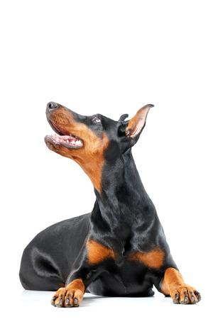 black bitch: Best friend. Lying doberman pinscher on isolated white background. Stock Photo