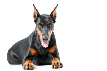 pinscher: Severe look. Lying doberman pinscher on white isolated background, looking severe. Stock Photo