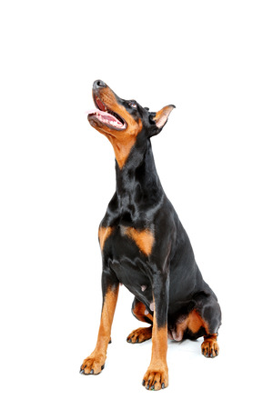looking upwards: I am watching you. Doberman pinscher sitting on white isolated background and looking upwards. Stock Photo