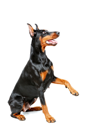 doberman pinscher: Put out your paw. Sitting doberman pinscher giving his paw on isolated white background. Stock Photo