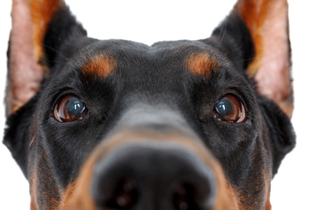 doberman pinscher: So curious. Close up of muzzle of doberman pinscher on isolated white background Stock Photo