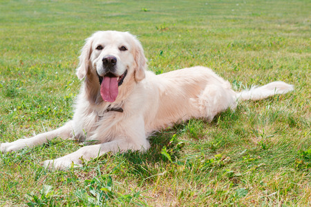 mouth opened: Dog. Portrait of a lovely cute golden retriever lying on the grass with his mouth opened, full length Stock Photo