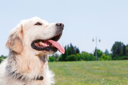 mouth opened: Close up photo of a beautiful golden retriever sitting in the park with his mouth opened Stock Photo