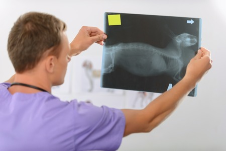 animals x ray: Involved in work. Pleasant professional vet holding x ray picture and standing half turned while doing his job Stock Photo