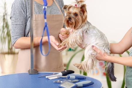mujer con perro: proceso de examen. Cierre de pequeños Yorkshire terrier en el proceso de pre-examen en salón de la preparación.